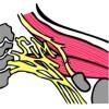 Corso di Anatomia e Chirurgia del Sistema Nervoso Periferico